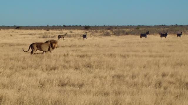 Male lion yawn walk sit zebras background Etosha Namiba Africa video