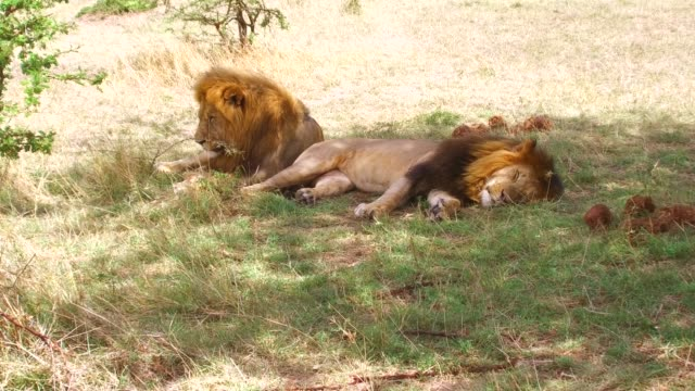 male lions resting in savanna at africa - penombra video stock e b–roll