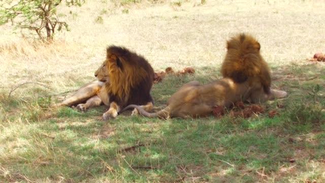 erkek aslan, afrika savana dinlenme - etçiller stok videoları ve detay görüntü çekimi