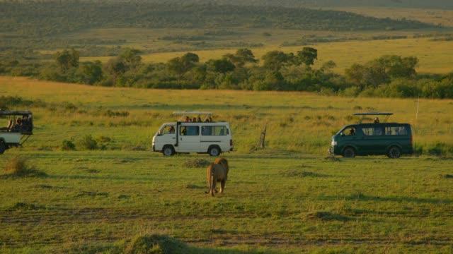 A male Maasai lion walking towards tourist vans at Maasai Mara National Reserve, Kenya, Africa