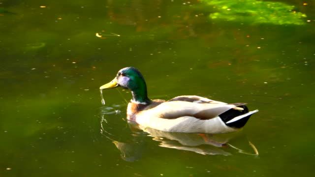 Männliche Stockente am Teich, Wasservogel in der Natur, Slow-Motion hautnah – Video