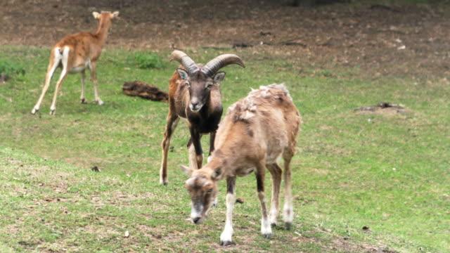 male mouflon in summer - sardegna video stock e b–roll
