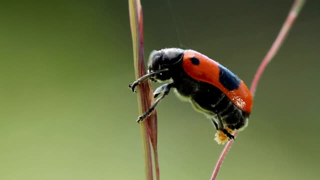 Male of beetle laying eggs, Clytra laeviuscula video