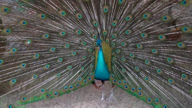 stockvideo's en b-roll-footage met mannelijke peacock is speading en tonen feather staart voor vrouwelijke precock. - vrouwtjesdier