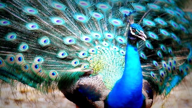 мужской павлин - peacock стоковые видео и кадры b-roll