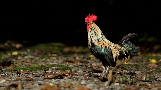 male red jungle fowl on field male red jungle fowl on field animal body stock videos & royalty-free footage
