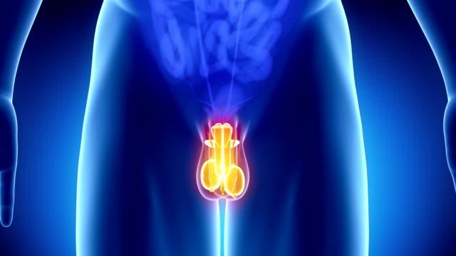 male reproductive organs - penis, prostate and testis - penis stok videoları ve detay görüntü çekimi