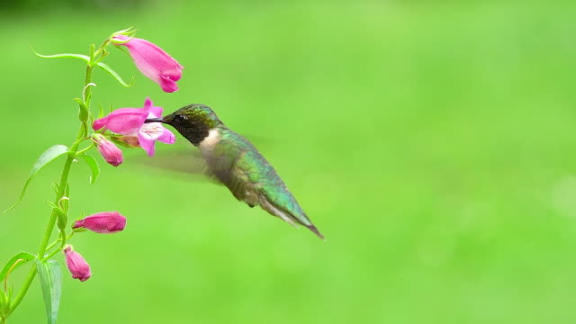 Male Ruby-throated Hummingbird A male ruby-throated hummingbird gathering nectar. hovering stock videos & royalty-free footage