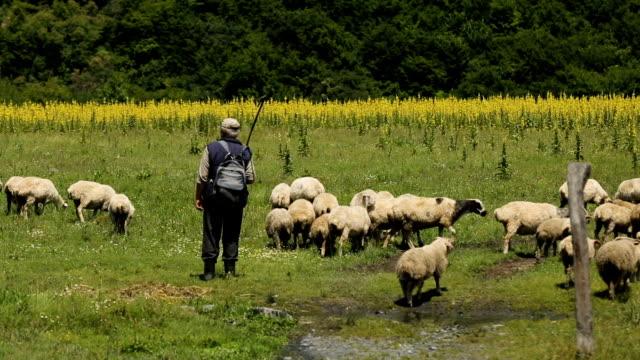male shepherds grazing big flock of sheep, life in mountainous countryside - mandriano video stock e b–roll