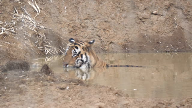male tiger cooling off in a waterhole at tadoba- 4K 60p
