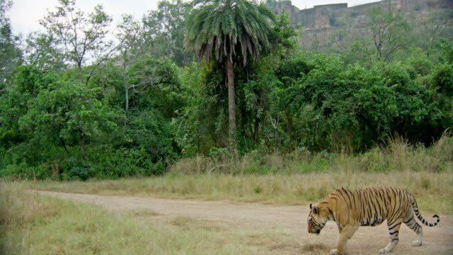 Male tiger crossing