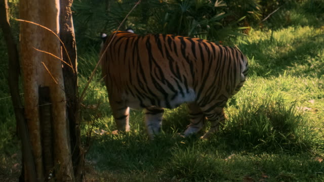 Male tiger walking and showing his dominance here - vídeo