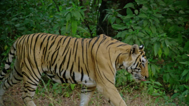Male tiger walking