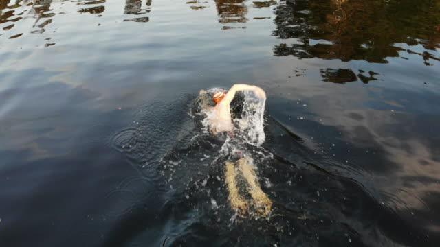 male triathlonist swimming in lake - triatleta video stock e b–roll
