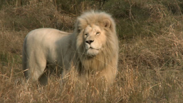 Male white lion prowling on African savannah