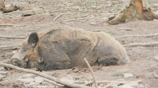 Male wild boar sleeping wide video