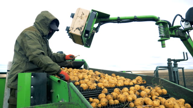 Male worker is removing garbage from the conveyor belt with potatoes. Harvesting concept.
