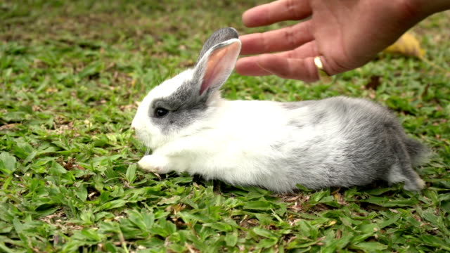 male's hand slimming is massaged, relaxing the rabbit lying on the grass.