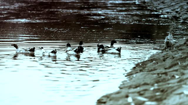 Mallard bird swimming Large group of domestic mallard bird taking a bath in the lake water during day time. animal limb stock videos & royalty-free footage