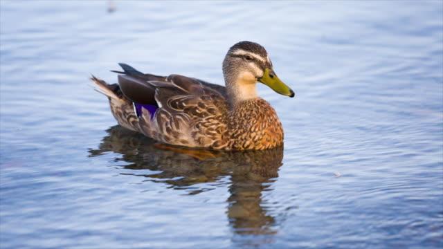кряква на озеро текапо, новая зеландия - утка водоплавающая птица стоковые видео и кадры b-roll