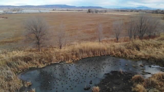 Mallard Duck Flock Feeding and Swimming in Rural Pond Western Colorado Outdoors