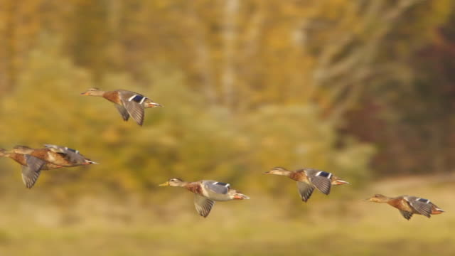 Mallard duck (Anas platyrhynchos) flying in slow motion - captured in Altai state nature reserve