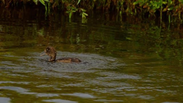 Mallard duckling swim and dive video