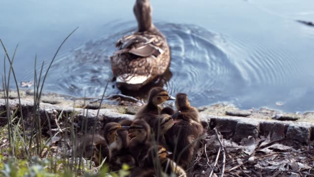 mallard mother duck with her ducklings on a lake in natural conditions of wild nature - утка водоплавающая птица стоковые видео и кадры b-roll