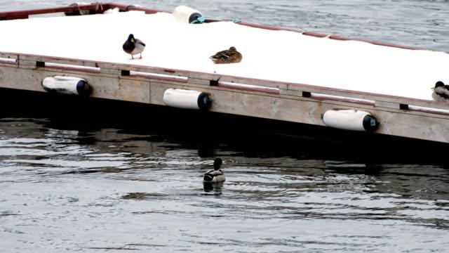 Mallard swimming on seashore and flying on wooden jetty