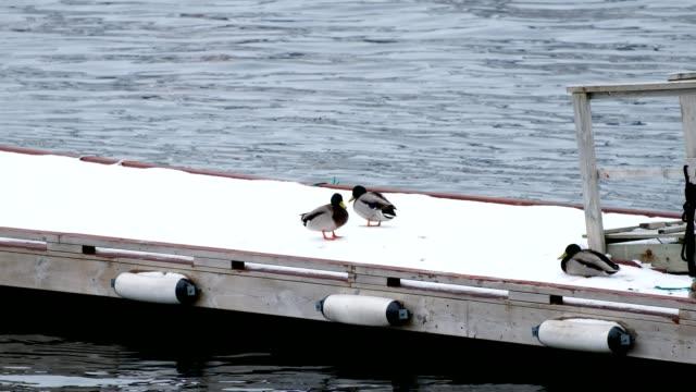 Mallard walking and flicked on snowy wooden jetty