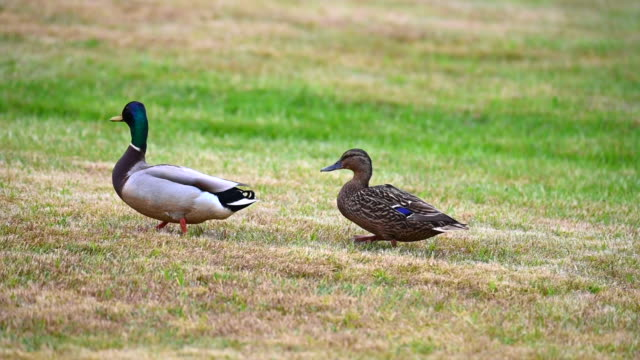 mallards (anas platyrhynchos)  make themselves comfortable on the lawn and enjoy their togetherness and are happy together - кряква стоковые видео и кадры b-roll