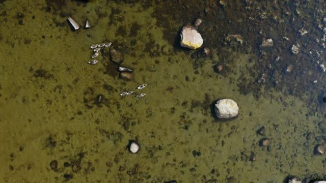 mallards schwimmen - ostsee stock-videos und b-roll-filmmaterial
