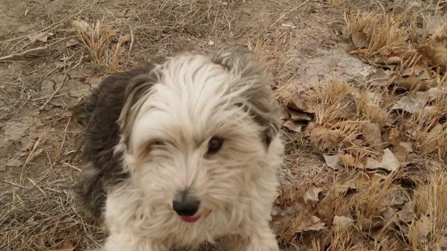 Maltese Border Collie Mix Dog in Rural Western USA Slow Motion 4K Video