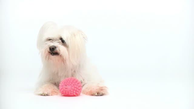 HD: Maltese dog on white video