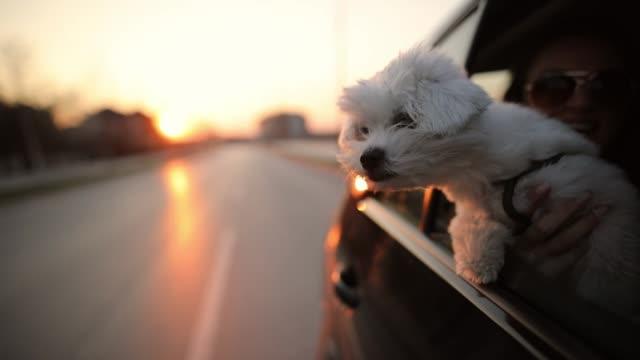 malteser hund klebt seinen kopf aus autofenster, während er mit seinem besitzer unterwegs ist - dog car stock-videos und b-roll-filmmaterial