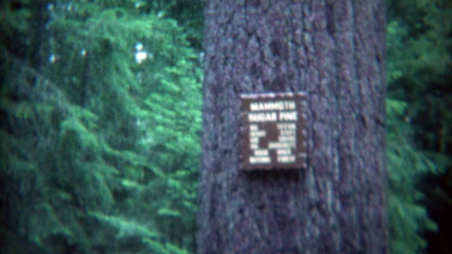 1969: Mammoth sugar pine view by tourists on family vacation.