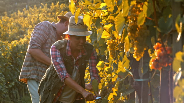 Man and woman harvesting grapes by hand at sunset video