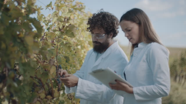 vídeos de stock e filmes b-roll de man and woman inspecting vineyard - grapes