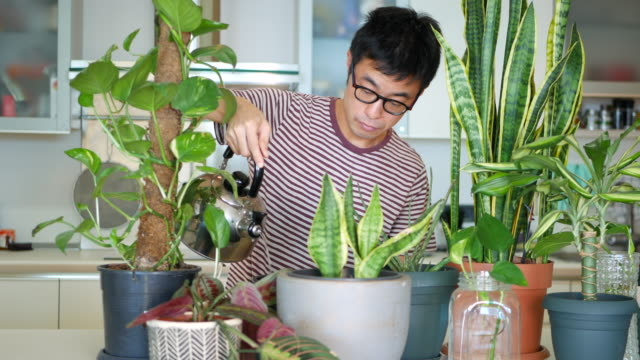 Man caring for his indoor plants A mid adult man taking care of his indoor plants. potted plant stock videos & royalty-free footage