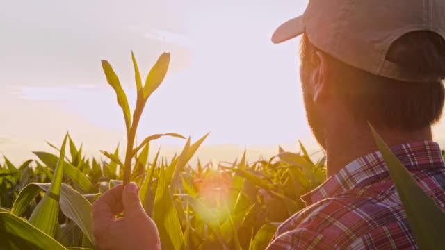 MS 男性のチェック、トウモロコシ植物 ビデオ