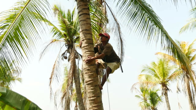 Man climbing a palm tree to pick coconuts Man climbing a palm tree in a lotus pond to pick coconuts coconut palm tree stock videos & royalty-free footage