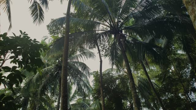 Man climbs to the top of a coconut palm tree in jungle permaculture farm in Bali