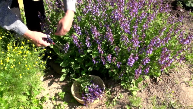 Man collecting flowering sage video