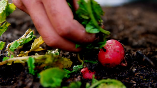 Man cultivating a turnip in garden house video