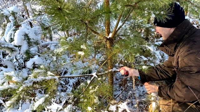 A man cuts a young pine on the eve of Christmas and New Year.