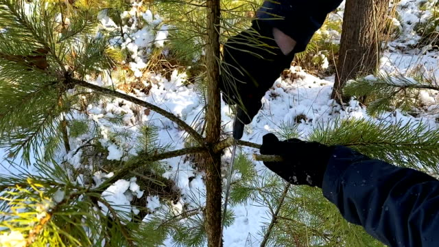 A man cuts branches of a young pine on the eve of Christmas and New Year holidays.