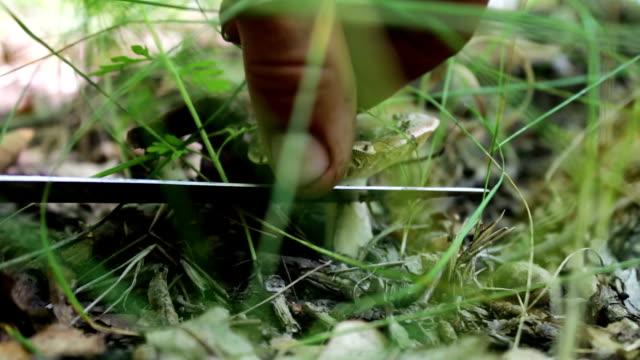 man skär champinjoner med en kniv i skogen. skörda svamp efter regn, närbild - höst plocka svamp bildbanksvideor och videomaterial från bakom kulisserna