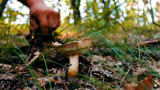 man skär champinjoner med en kniv i skogen. skörda svamp efter regn i gräs och torra löv, närbild - höst plocka svamp bildbanksvideor och videomaterial från bakom kulisserna