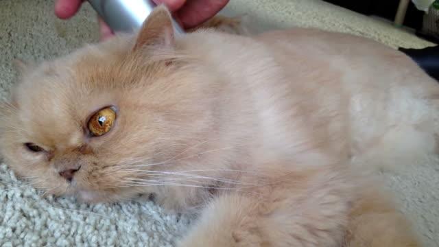 Man cutting fur of a Persian cat video