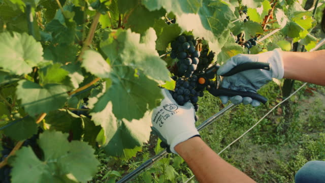 man cutting grapes during the harvesting process. slow motion - viticoltura video stock e b–roll